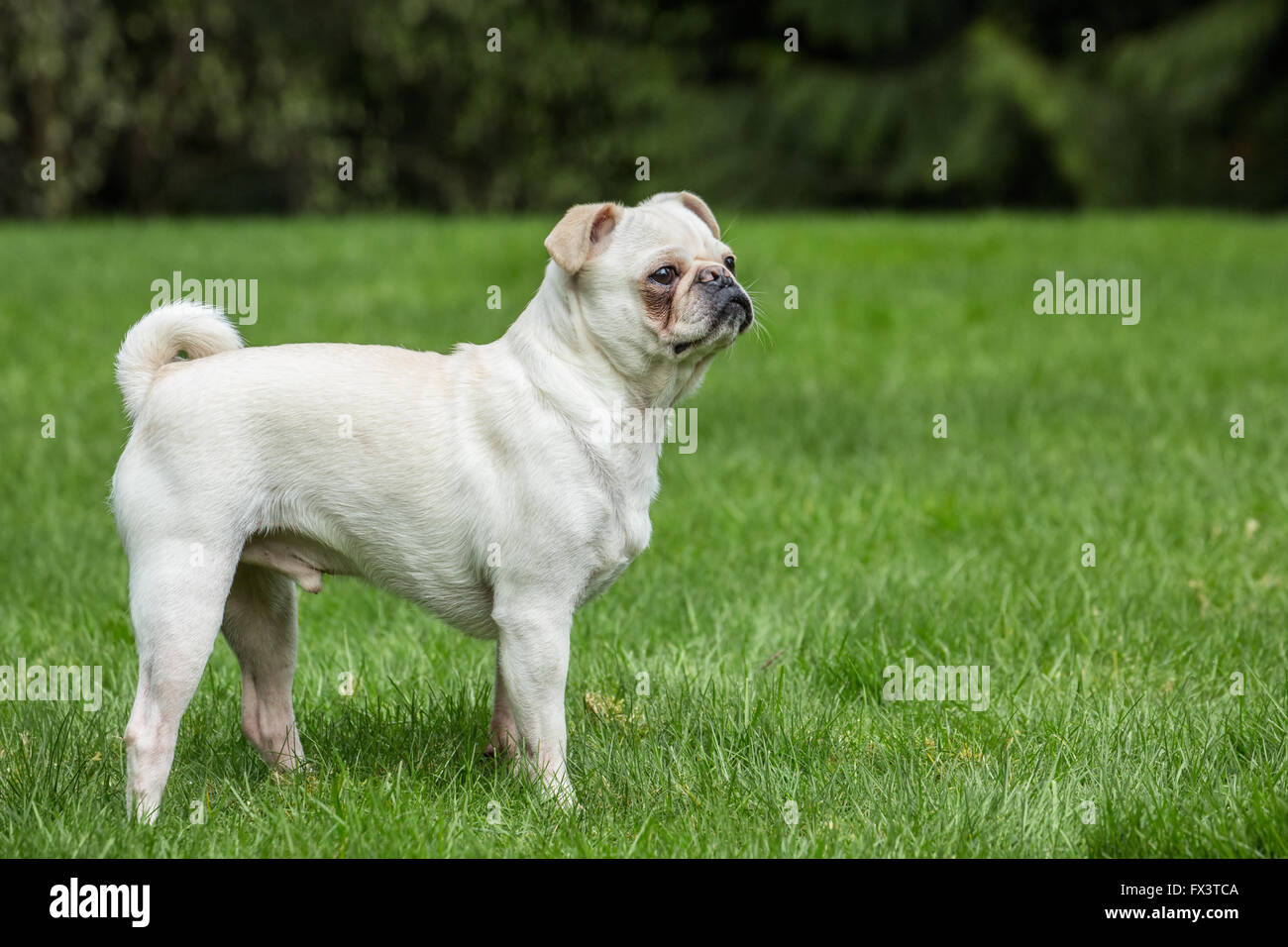 Lewee, a white Pug, posing in his yard in Redmond, Washington, USA - Stock Image