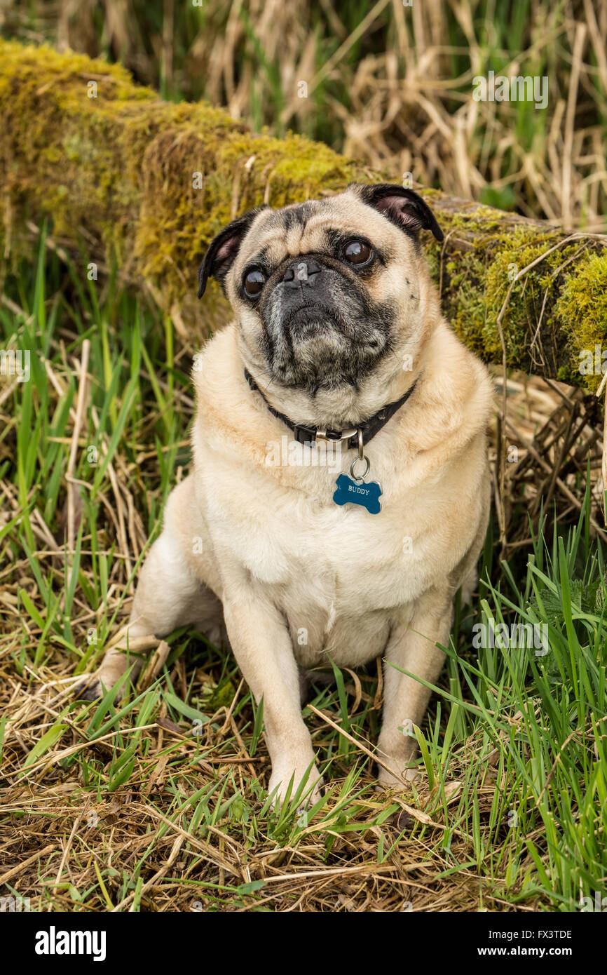 Fawn-colored Pug, Buddy, posing by a moss-covered fence in Marymoor Park in Redmond, Washington, USA Stock Photo