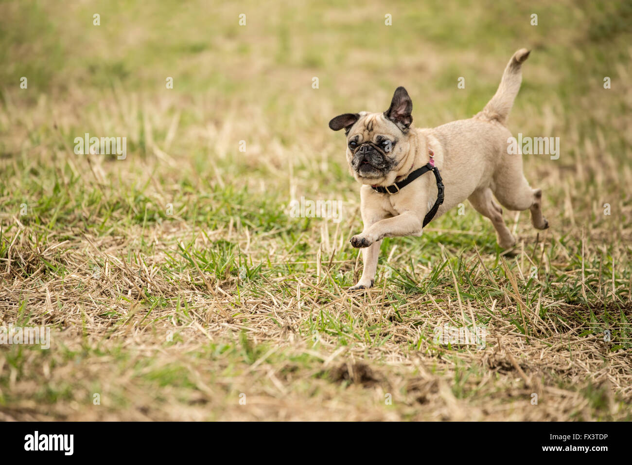 Fawn-colored Pug, Bella Boo, running in a field in Marymoor Park in Redmond, Washington, USA - Stock Image