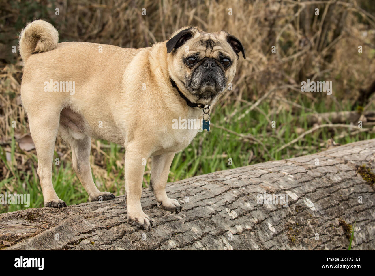 Fawn-colored Pug, Buddy, standing on a fallen tree in Marymoor Park in Redmond, Washington, USA - Stock Image