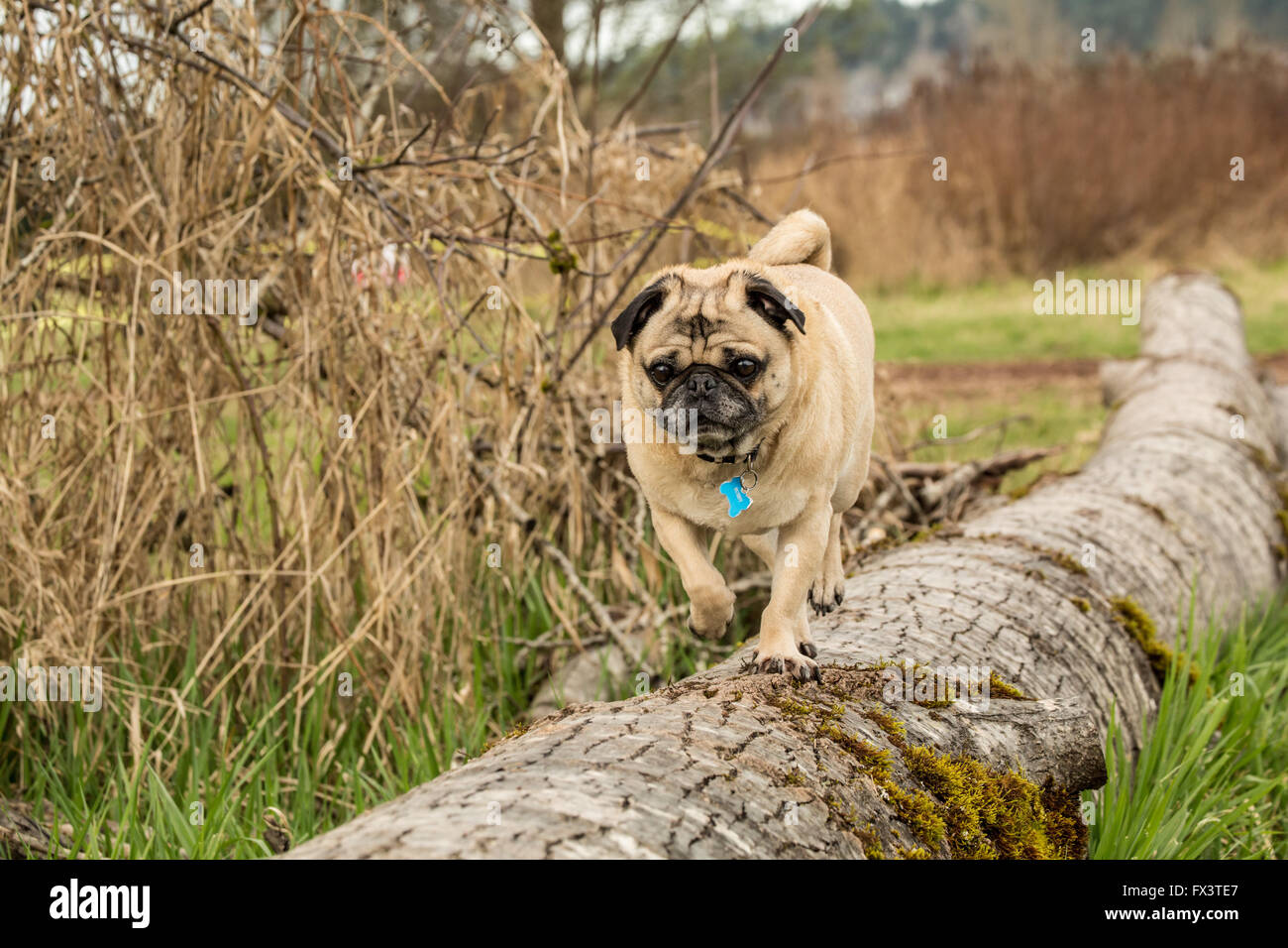 Fawn-colored Pug, Buddy,walking on a fallen tree in Marymoor Park in Redmond, Washington, USA - Stock Image
