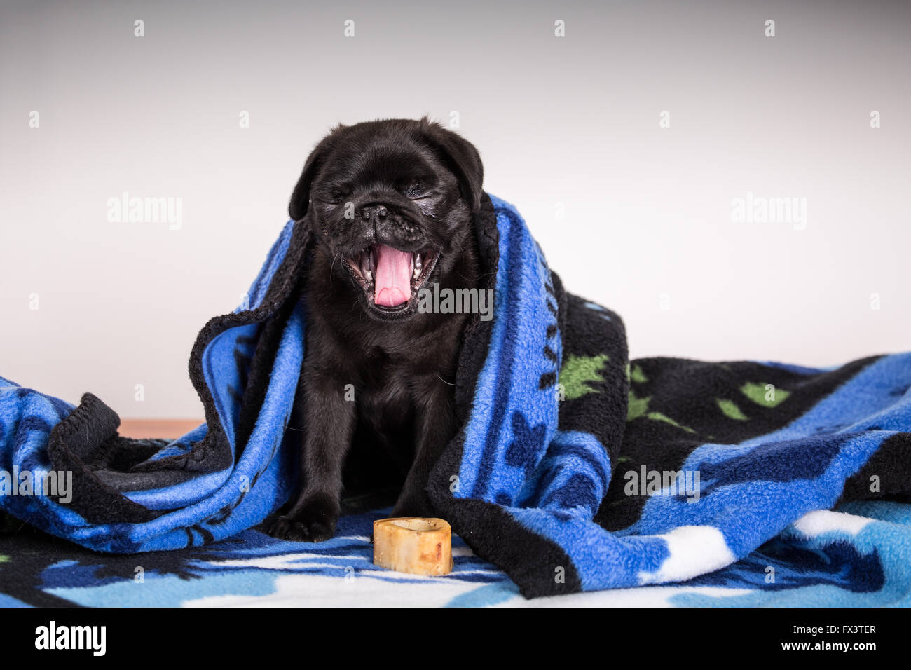 Fitzgerald, a 10 week old black Pug puppy yawning and curled up in a blanket in Issaquah, Washington, USA - Stock Image
