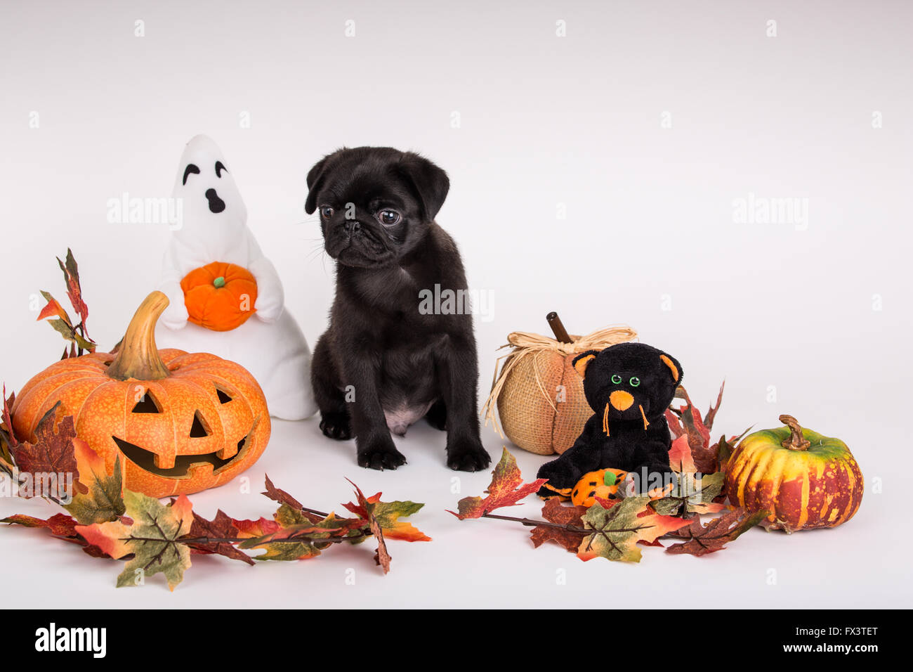 Fitzgerald, a 10 week old black Pug puppy surrounded by Halloween decorations in Issaquah, Washington, USA Stock Photo
