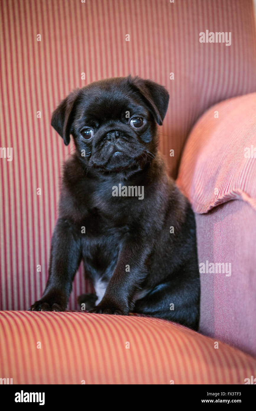Fitzgerald, a 10 week old black Pug puppy sitting in an upholstered chair in Issaquah, Washington, USA - Stock Image
