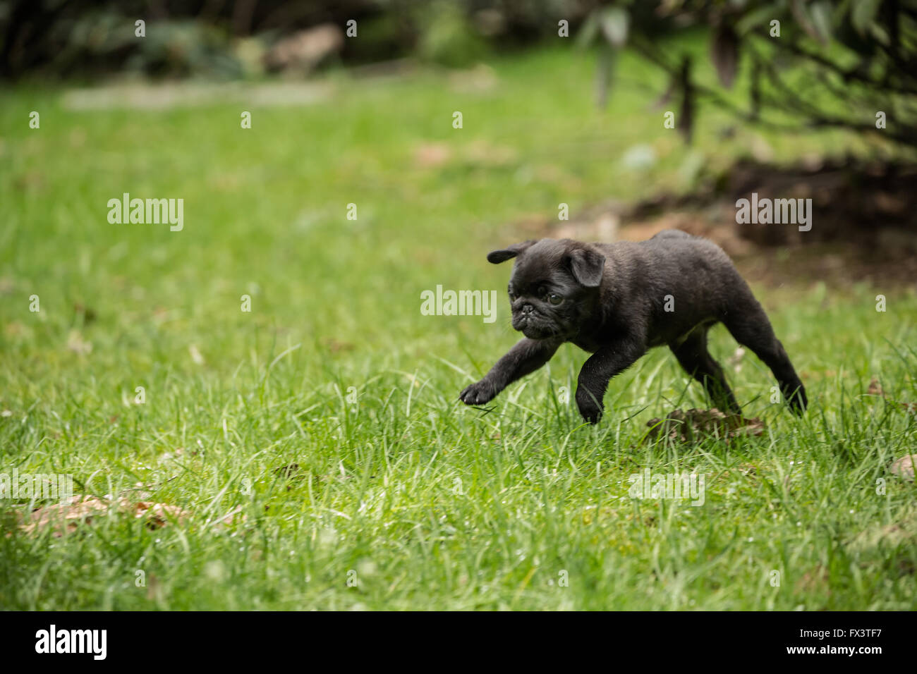 Fitzgerald, a 10 week old black Pug puppy playfully running and jumping into the air in the backyard lawn - Stock Image