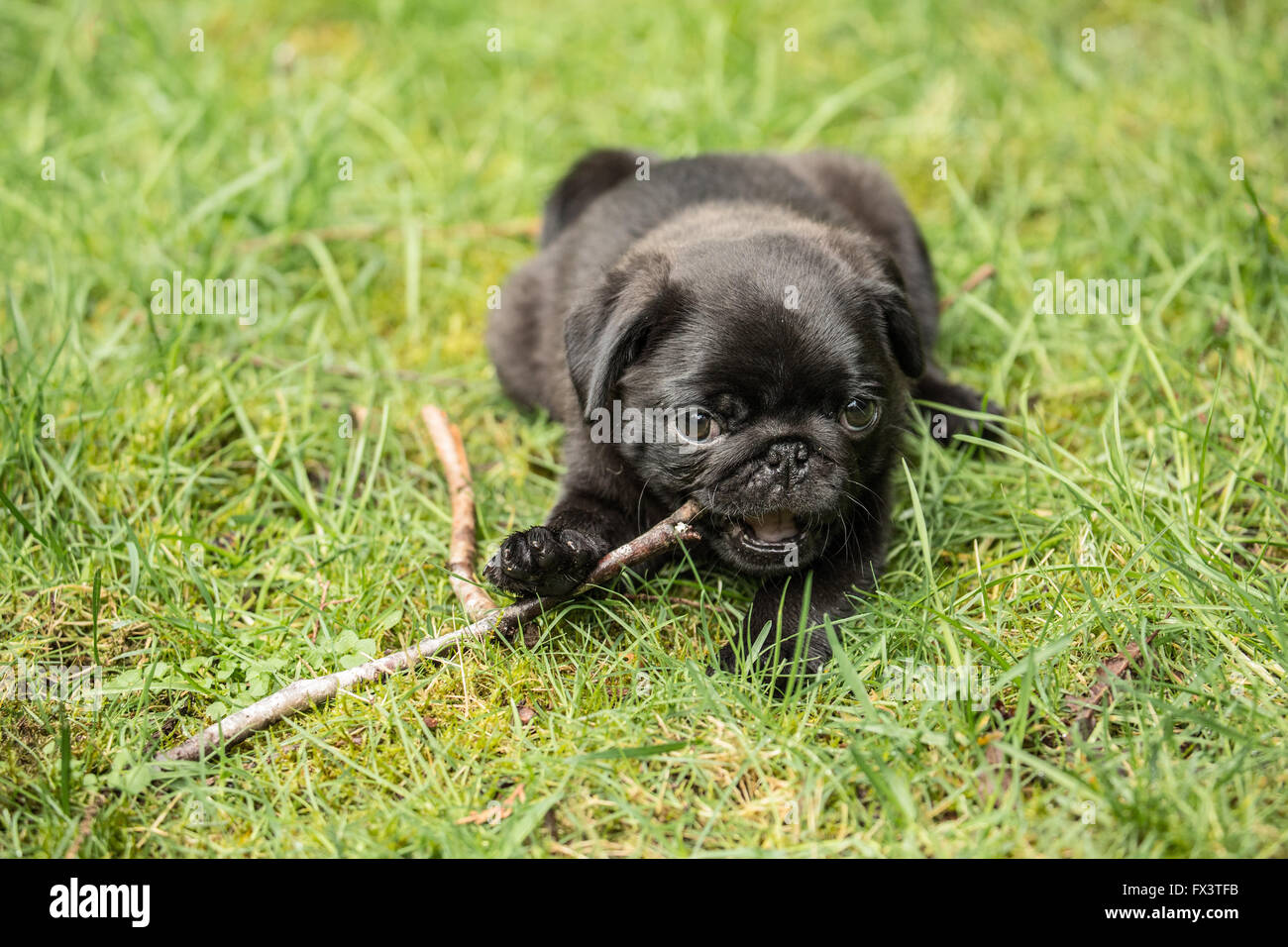 Fitzgerald, a 10 week old black Pug puppy chewing on a stick while resting on the lawn in Issaquah, Washington, - Stock Image