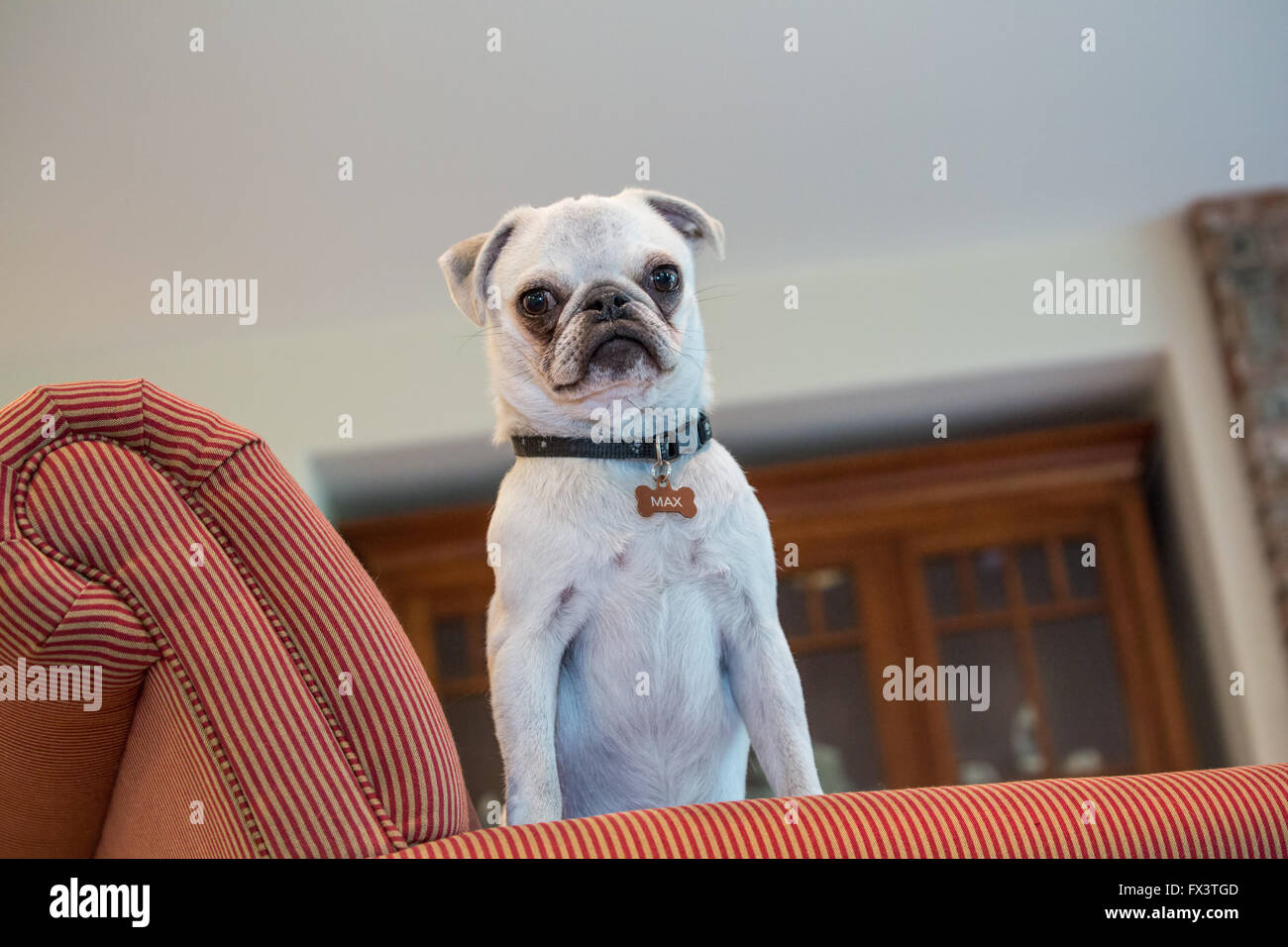 Max, a white Pug puppy, standing in an upholstered chair, looking down, in Issaquah, Washington, USA - Stock Image