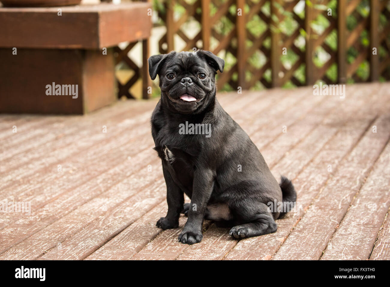 Kato, a black Pug puppy sitting on a cedar deck in Issaquah, Washington, USA - Stock Image