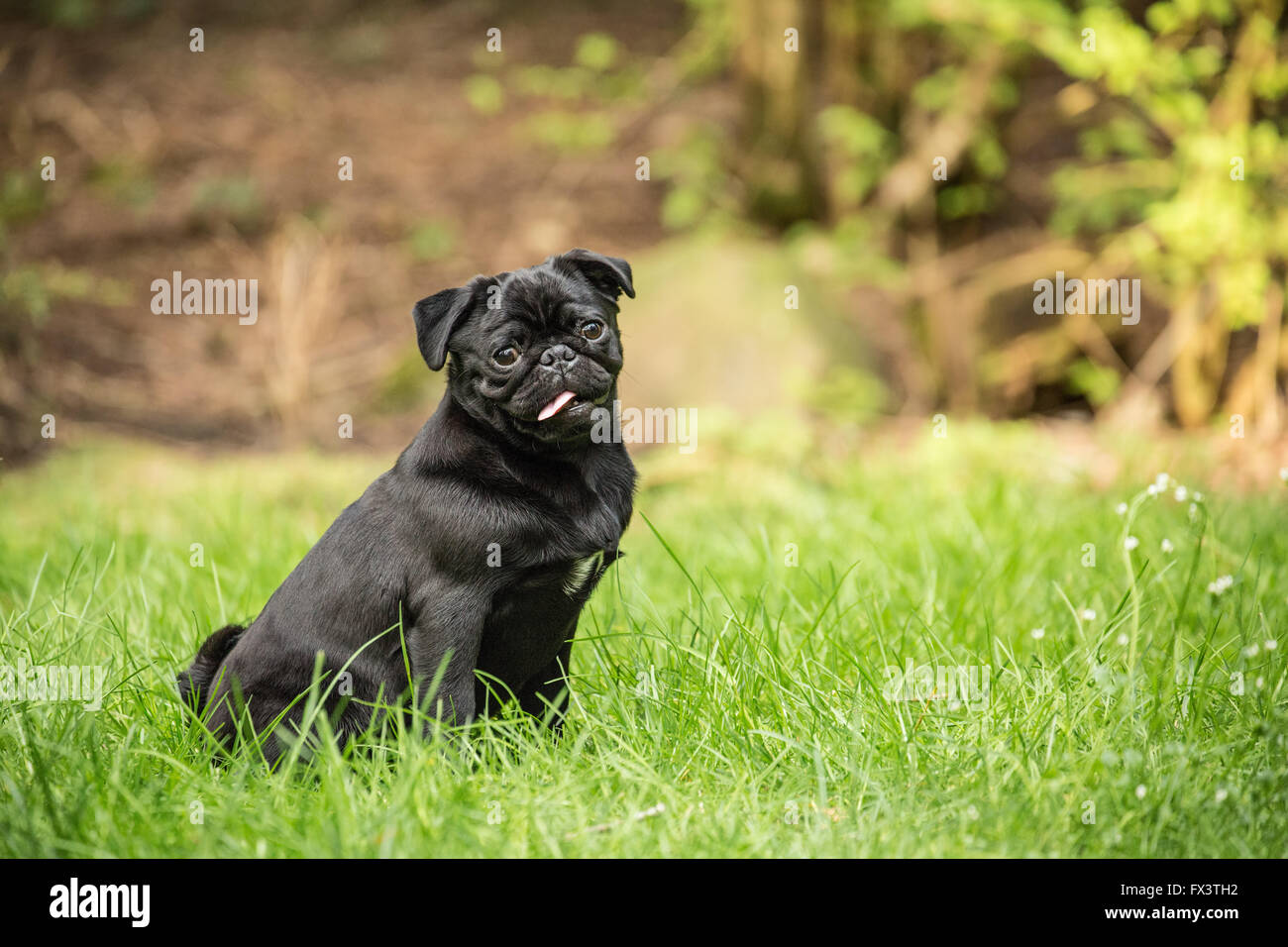 Kato, a black Pug puppy sitting in the grassy lawn in Issaquah, Washington, USA - Stock Image