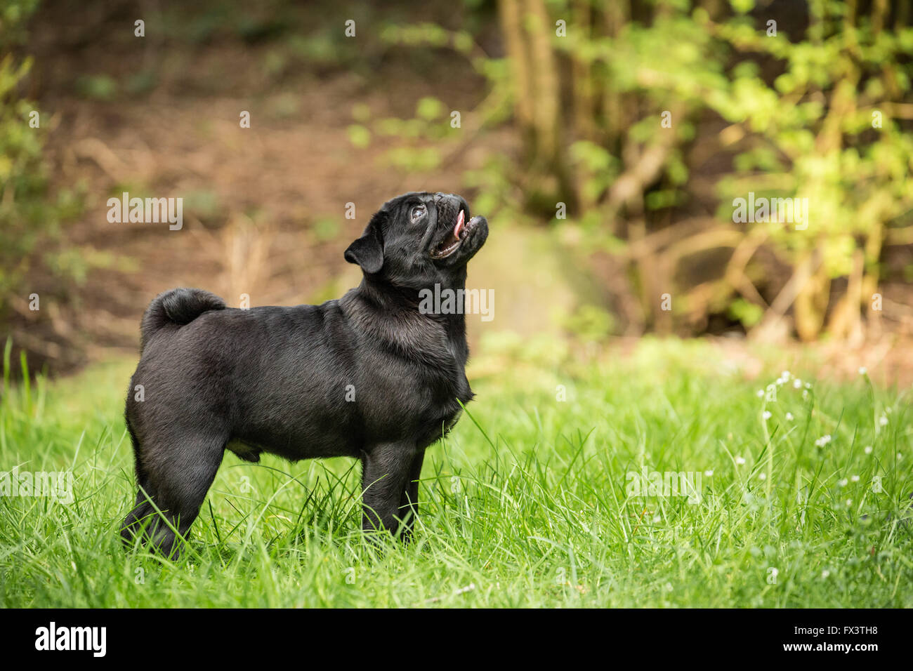 Kato, a black Pug puppy looking up from the lawn, in Issaquah, Washington, USA - Stock Image