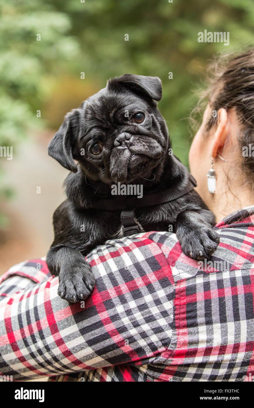 Woman holding Kato, her black Pug puppy in Issaquah, Washington, USA - Stock Image