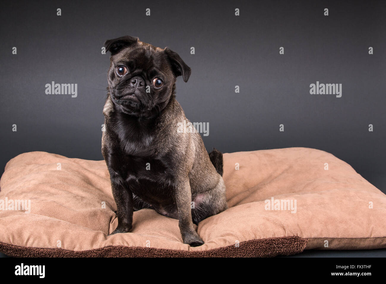 Olive, the Pug, sitting on a dog bed in Issaquah, Washington, USA - Stock Image