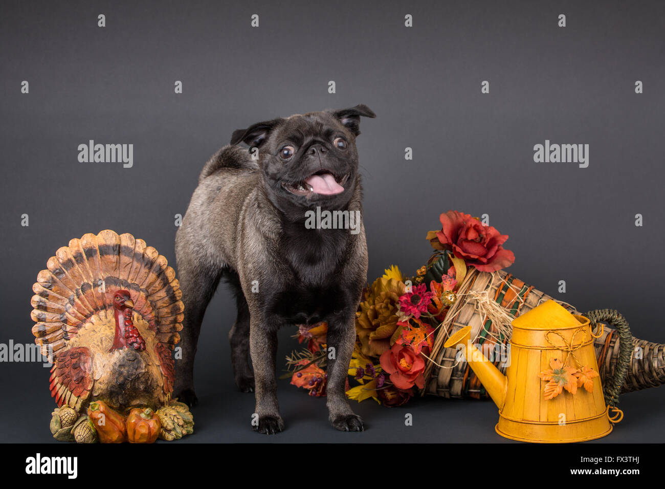 Olive, the Pug, surrounded by Thanksgiving decorations in Issaquah, Washington, USA Stock Photo