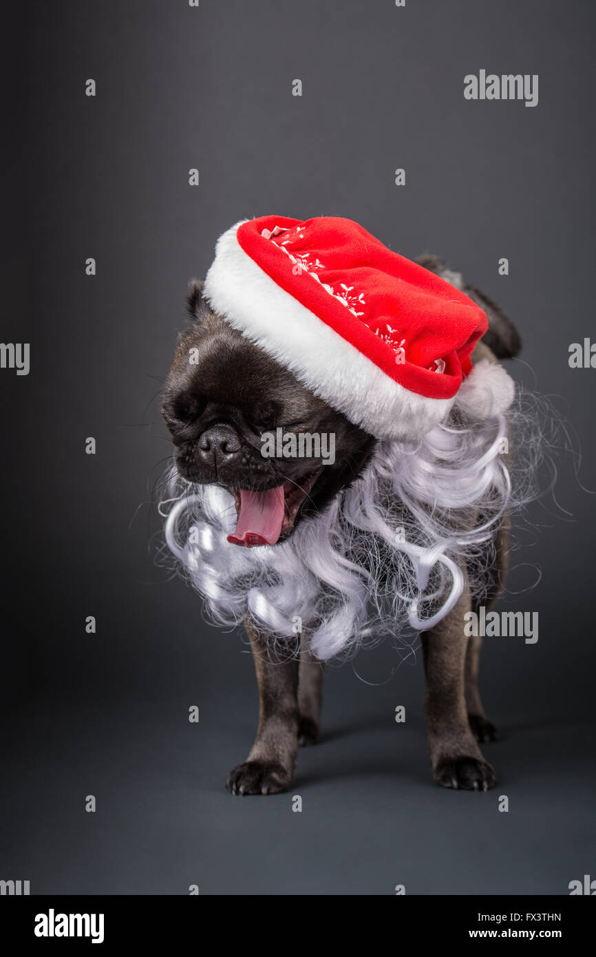 Olive, the Pug, yawning and wearing a Santa hat and beard in Issaquah, Washington, USA - Stock Image