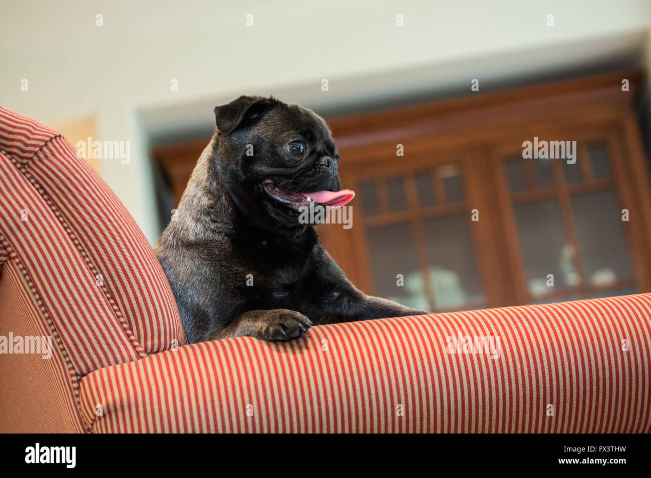 Olive, the Pug, sitting in an upholstered chair in Issaquah, Washington, USA - Stock Image