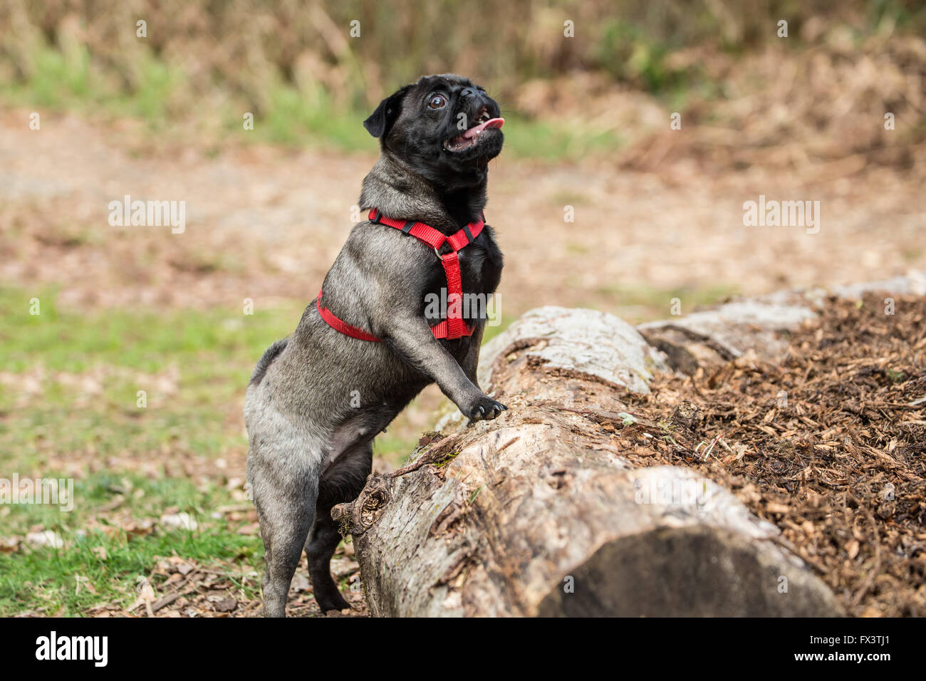 Olive, the Pug, with front paws resting on logs surrounding a raised garden in Issaquah, Washington, USA Stock Photo