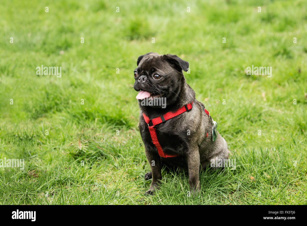 Olive, the Pug, sitting in the yard in Issaquah, Washington, USA - Stock Image