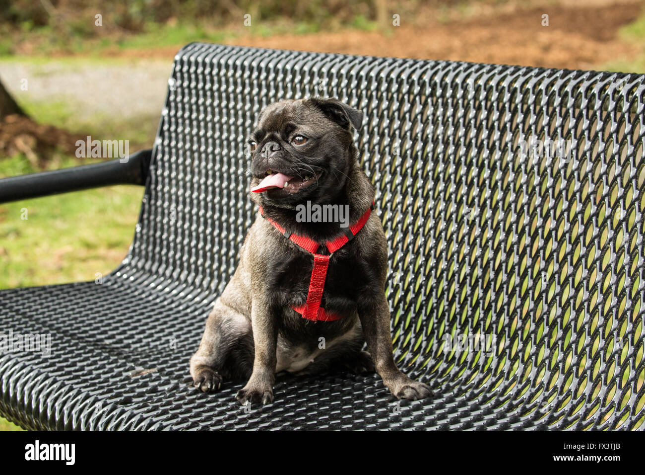 Olive, the Pug, sitting on a metal park bench in Issaquah, Washington, USA - Stock Image