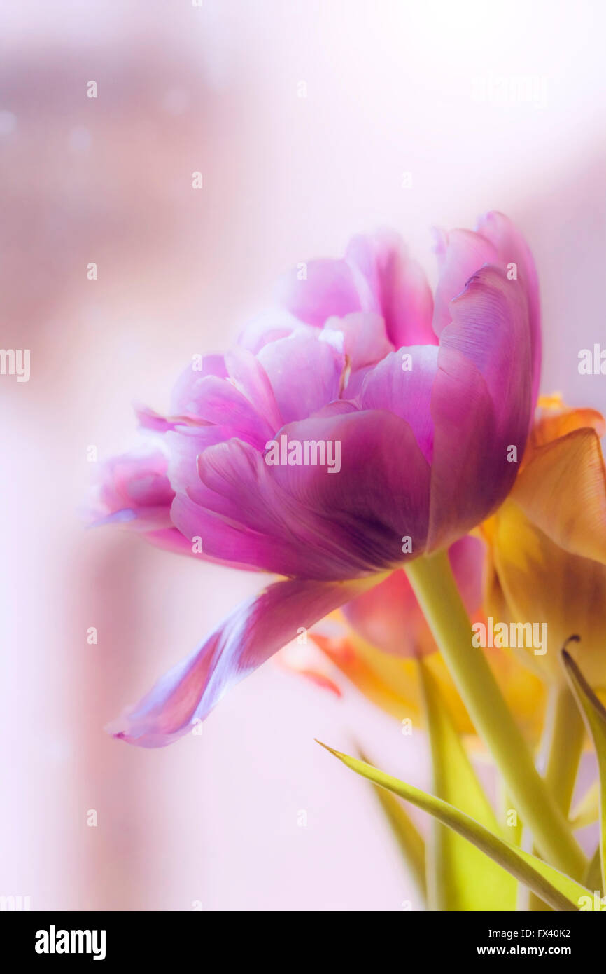 Delicate pink and light lilla tulip in blur - Stock Image