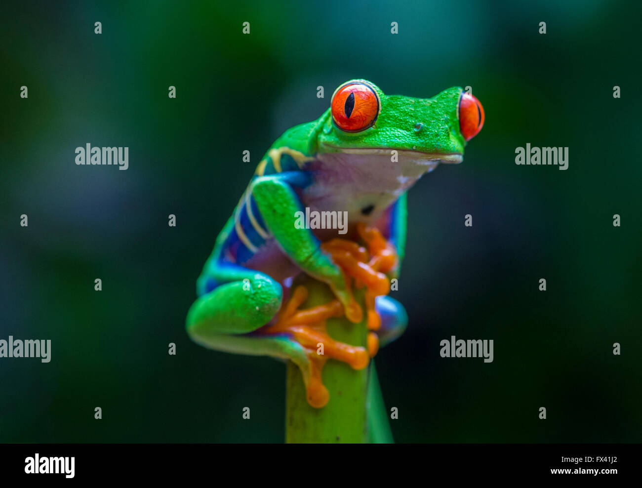 Red-Eyed Tree Frog in Costa Rican rain forest - Stock Image