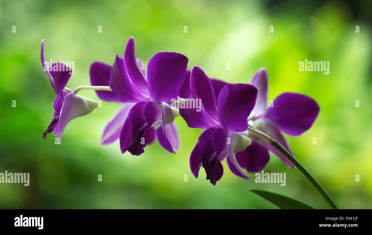 Purple flowers in the greenhouse - Stock Image