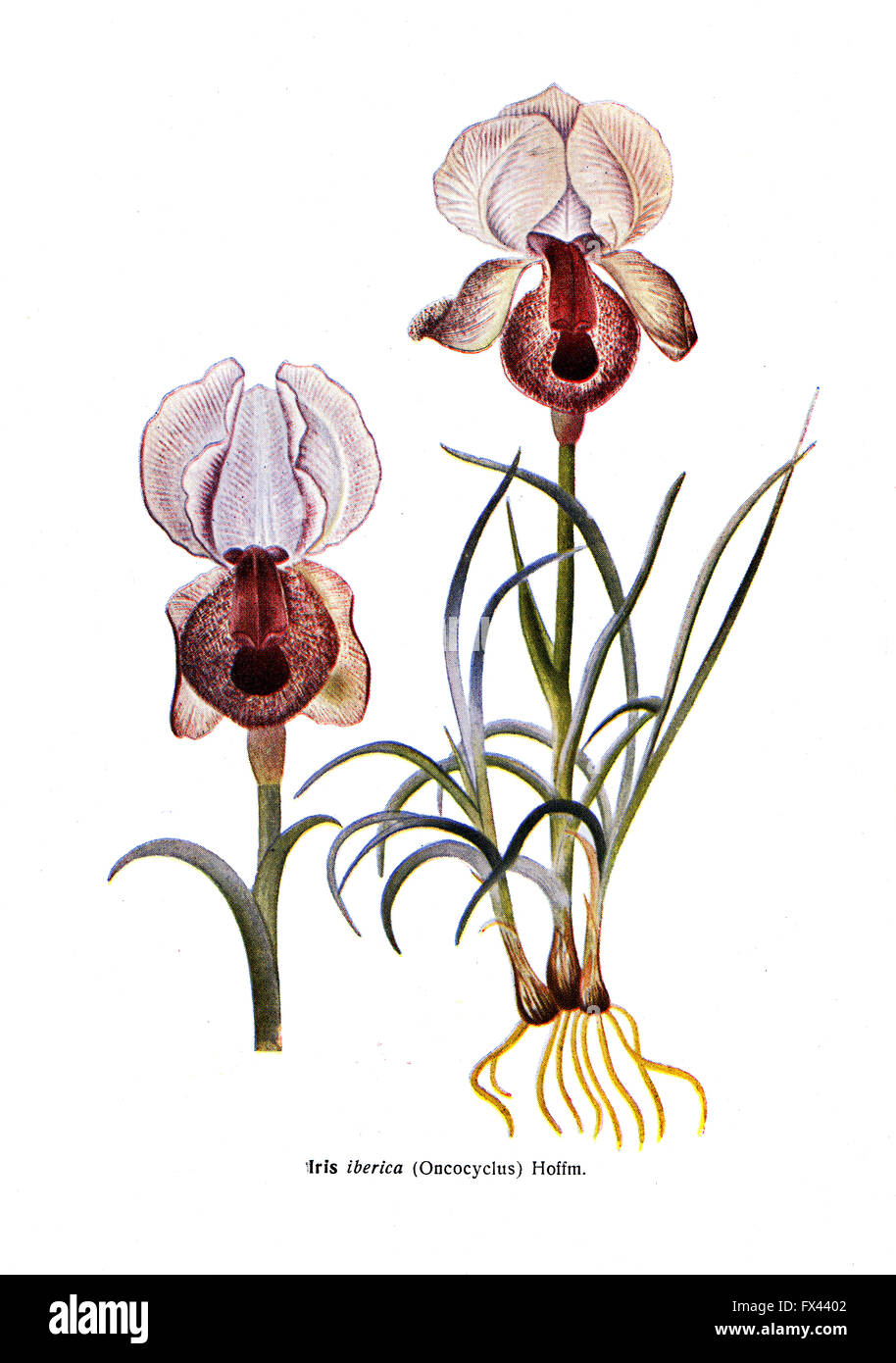 Iris iberica - Oncocyclus - Hoffm - an illustration from the book 'Species of flowers bulbes of the Soviet Union', - Stock Image