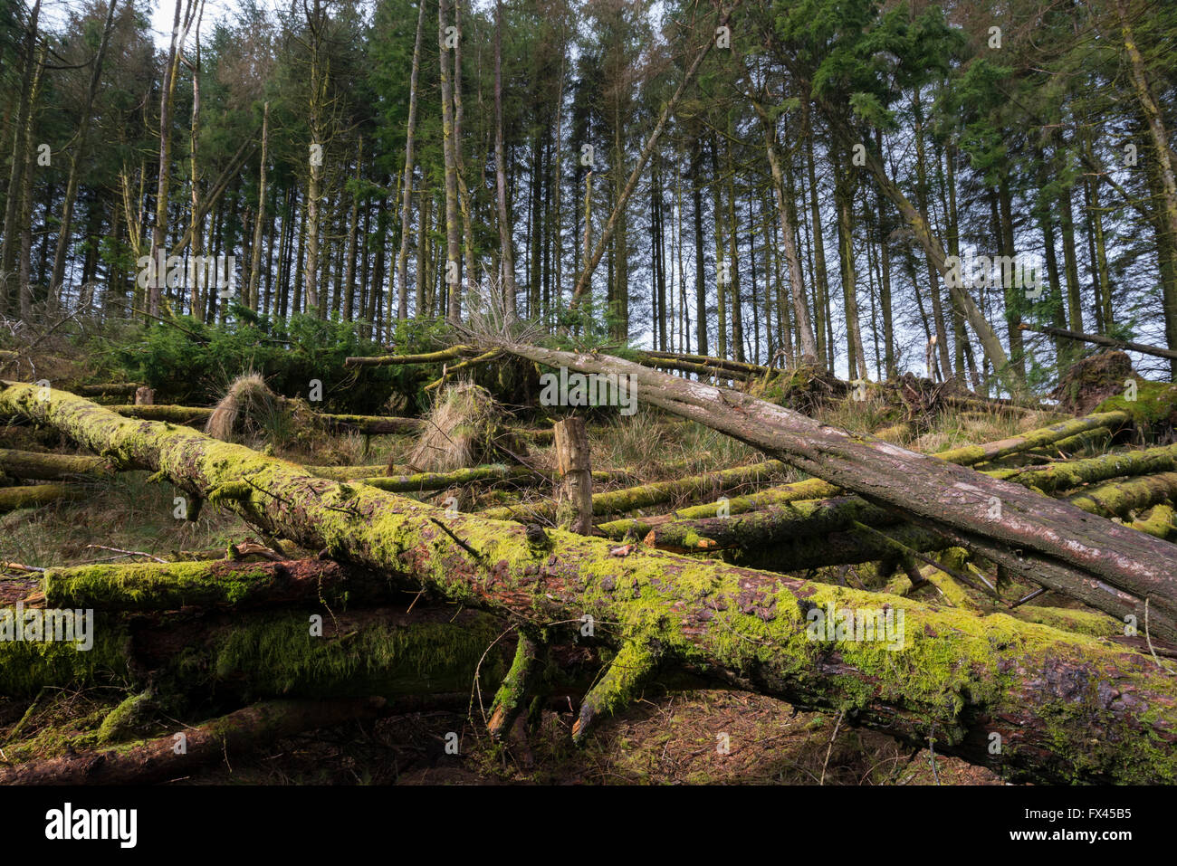 Blean Llia, woodland control, Breacon Beacons National Park, Wales, UK - Stock Image
