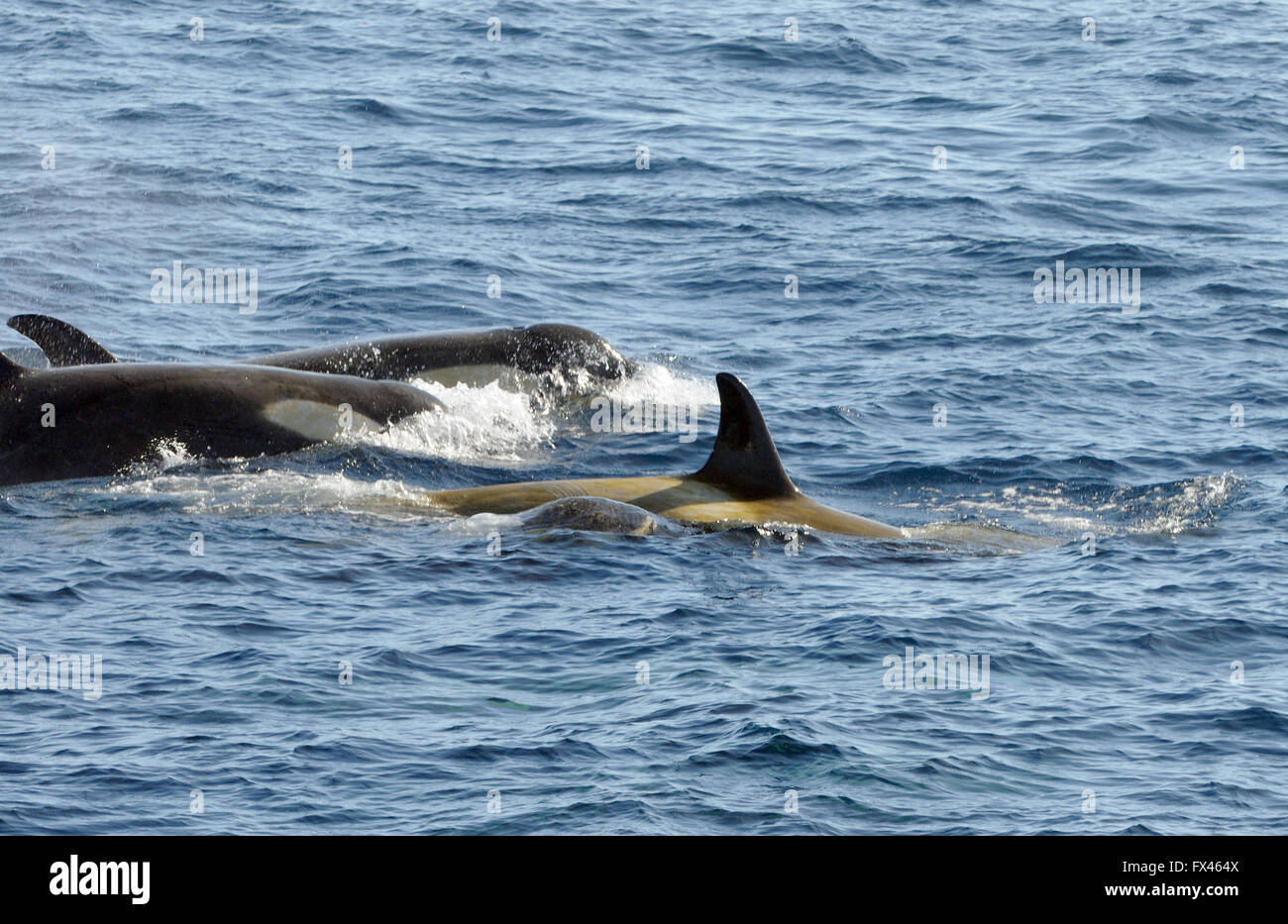 Killer whales or orcas (Orcinus orca). These are type B  Orcas. Hope Bay,  Trinity Peninsula,  Antarctic Peninsula, - Stock Image
