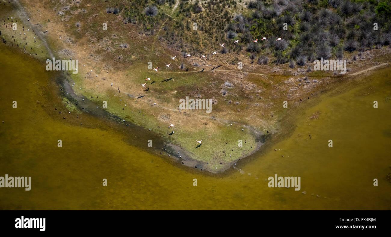 Aerial view, Camargue, flocks of flamingos on the low-water mark of the Camargue, flamingos (Phoenicopteridae), - Stock Image