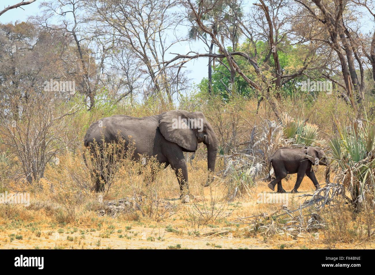 Afican bush elephant (Loxodonta africana) and baby, walking through woodland in the Okavango Delta, Botswana - Stock Image