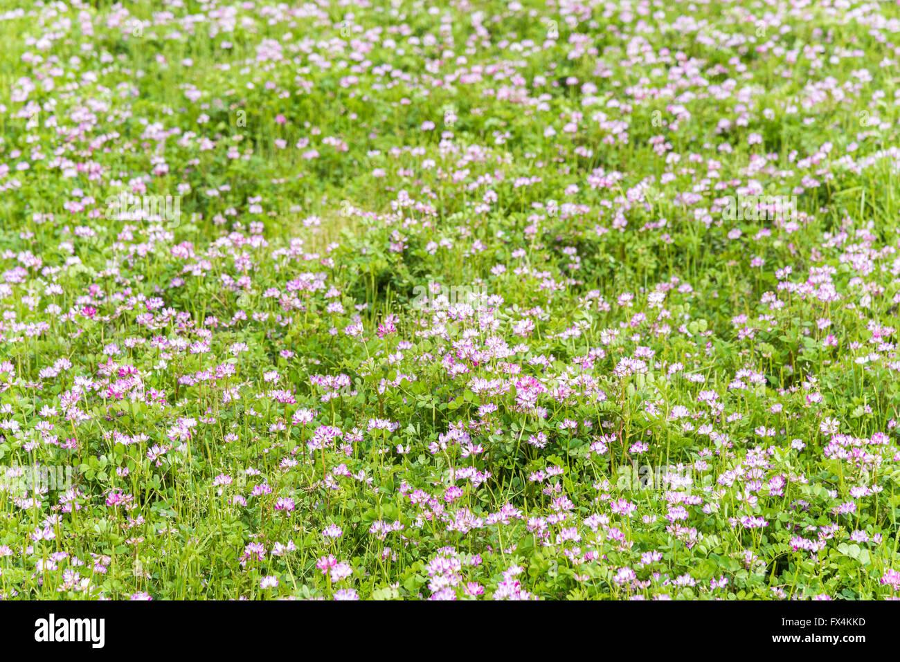 Isehara City, Japan. 10th April, 2016. Chinese Milk Vetch flowers (Astragalus sinicus or Renge or Genge) flowers - Stock Image