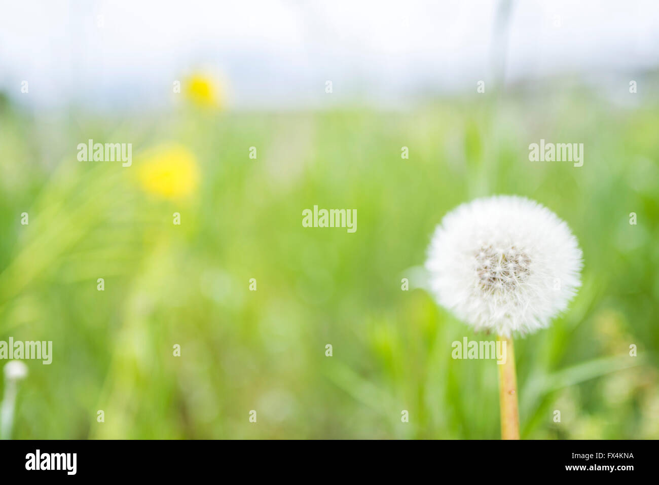Isehara City, Japan. 10th April, 2016. Chinese Milk Vetch flowers(Astragalus sinicus or Renge or Genge) flowers - Stock Image