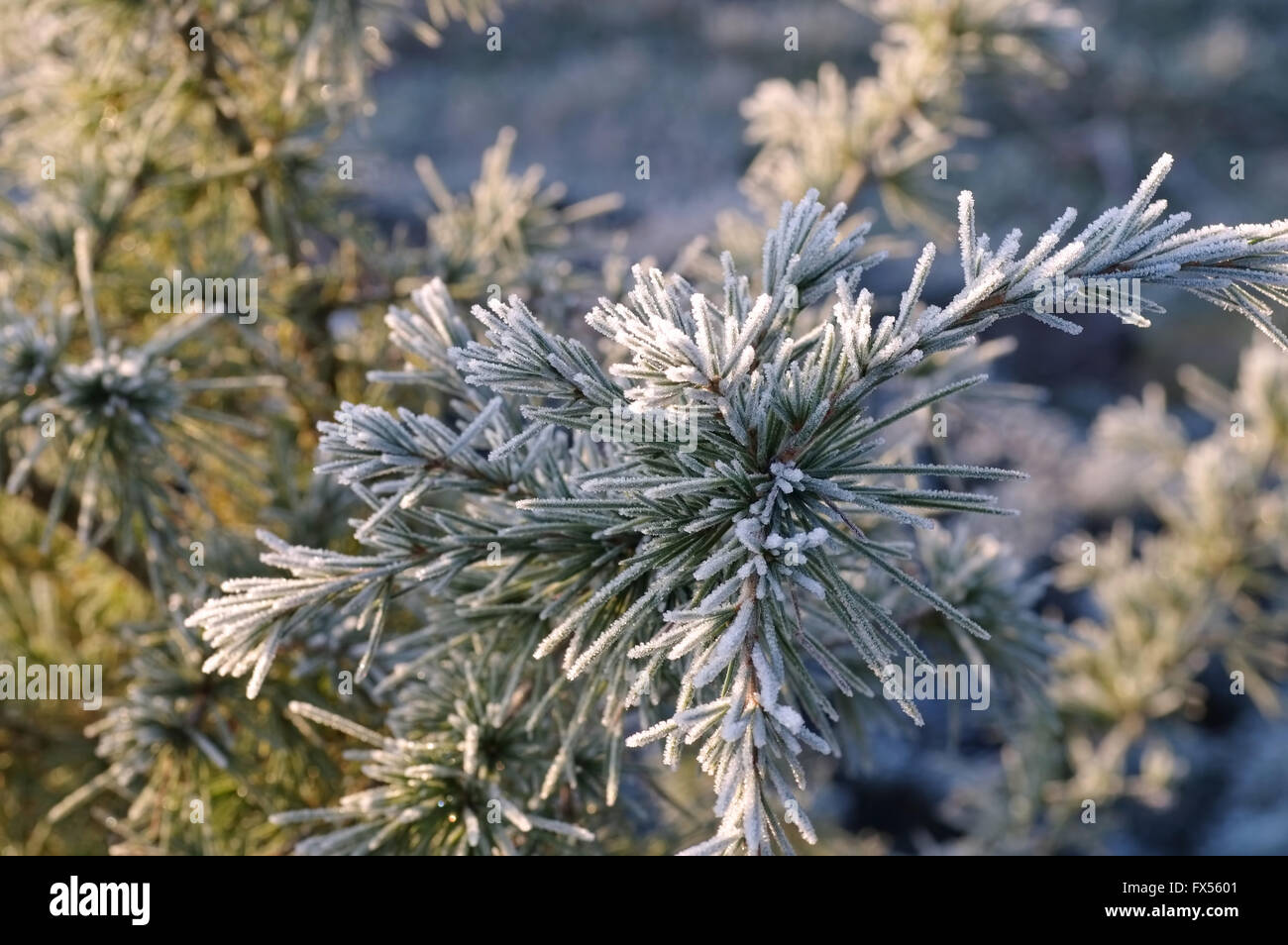 Kiefernzweig mit Raureif im Winter - pine twig with hoarfrost in winter Stock Photo
