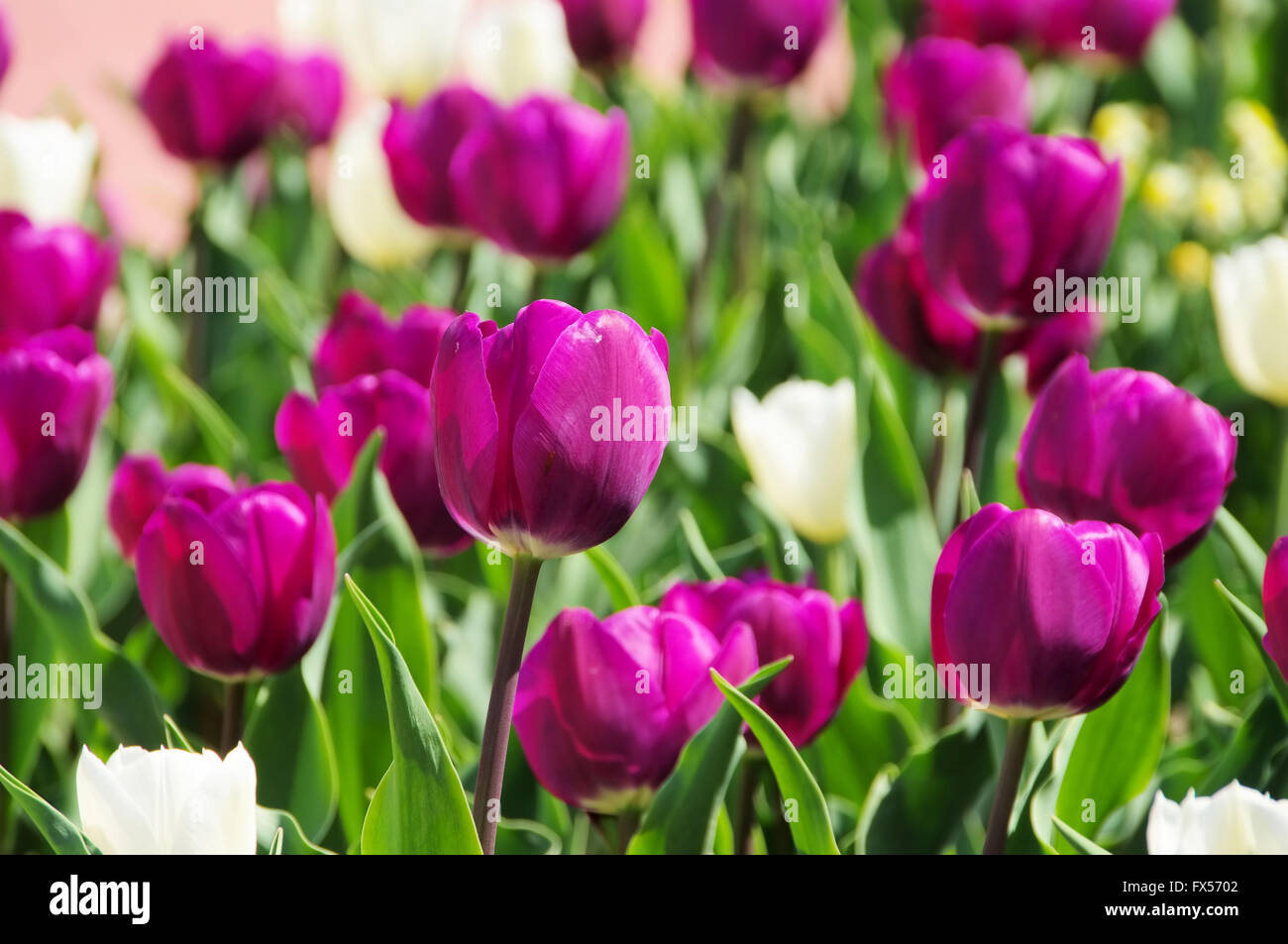 Tulpen lila und weiss - tulips purple and white 03 - Stock Image