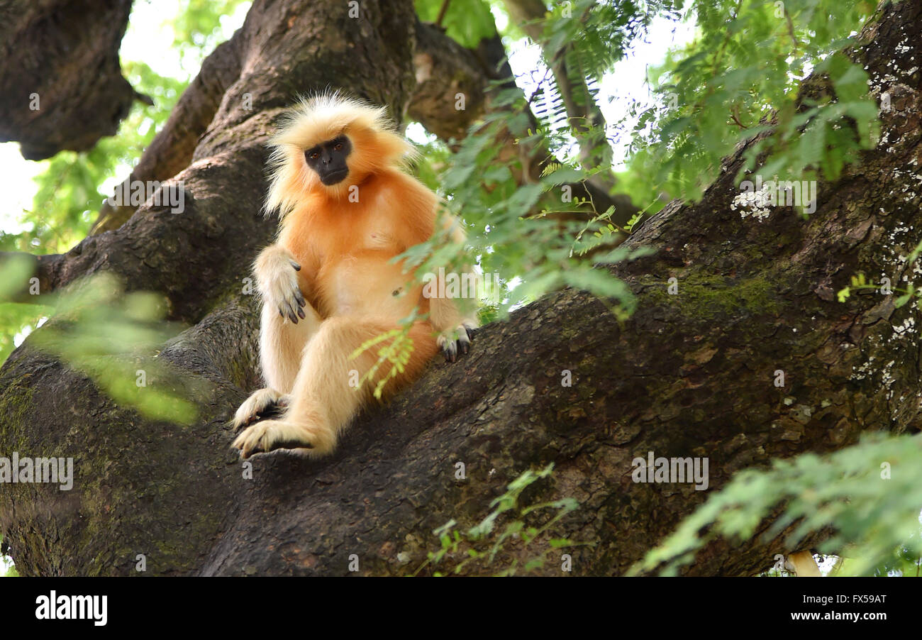 Gee's golden langur (Golden Monkey) an Old World monkey found in Assam,India.It is one of the most endangered - Stock Image