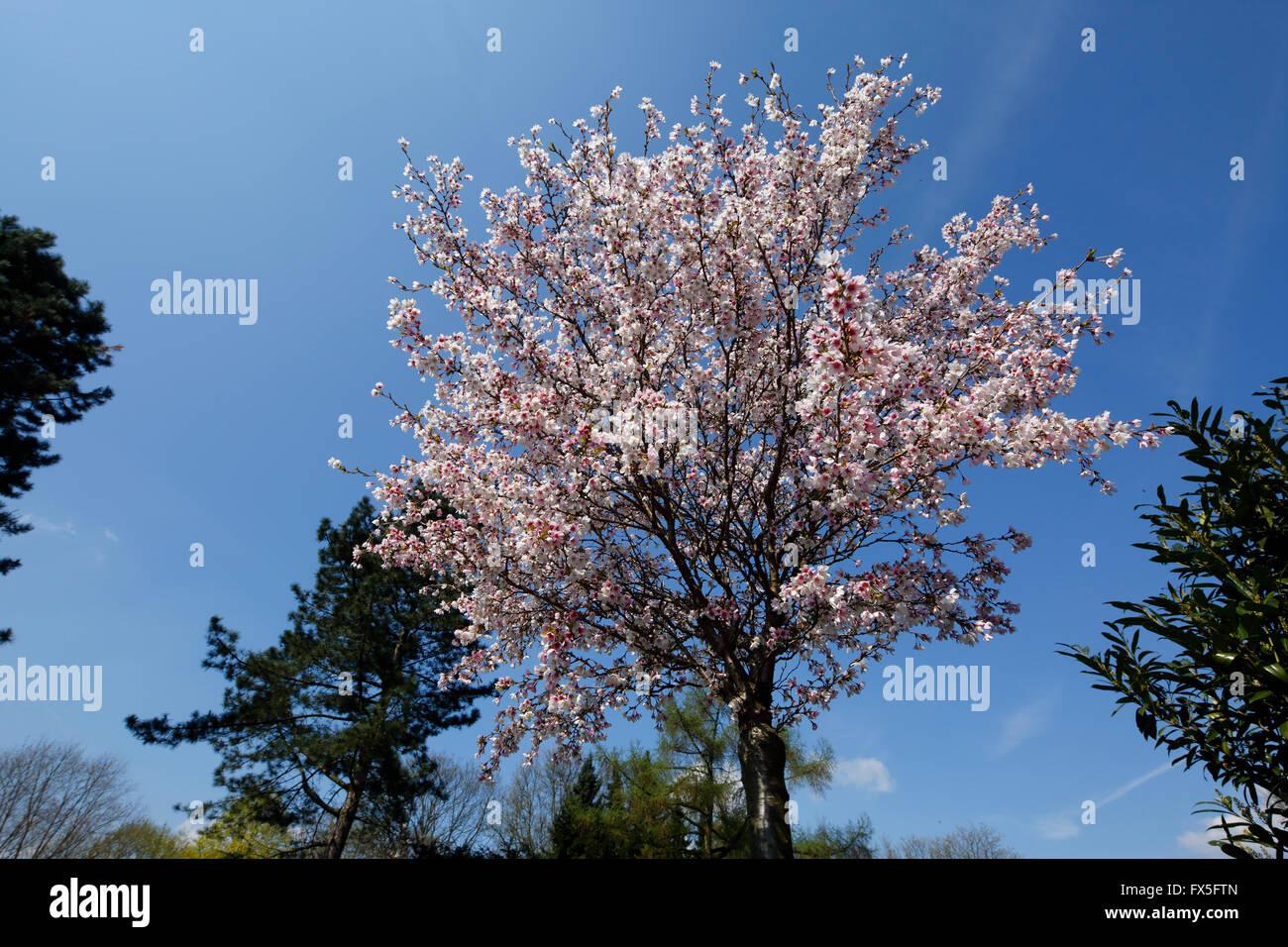 natur jahreszeiten fruehling baum baumbluete weisse blueten stock photo 102155109 alamy