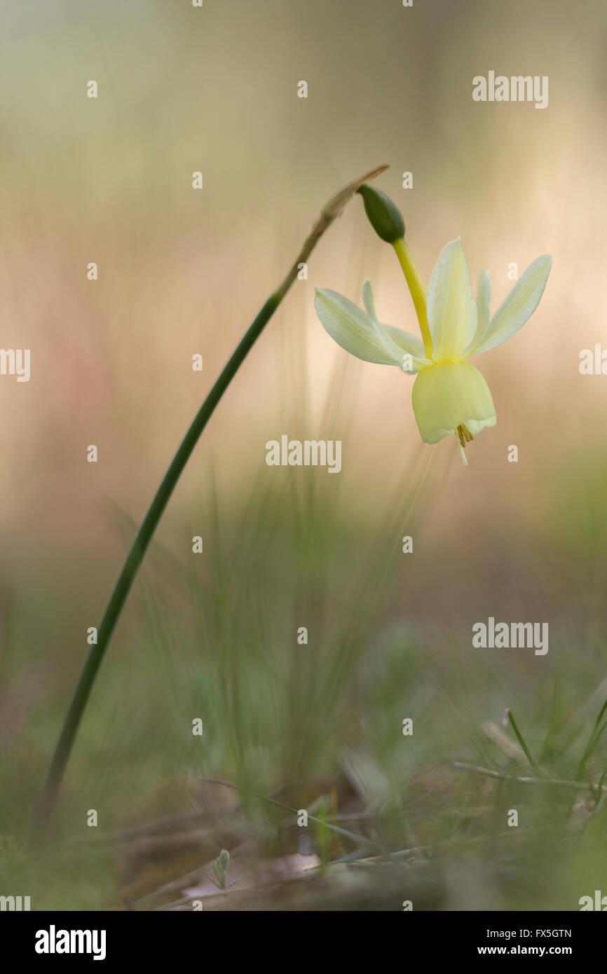 Narcissus triandrius (Angel's tears) - Stock Image