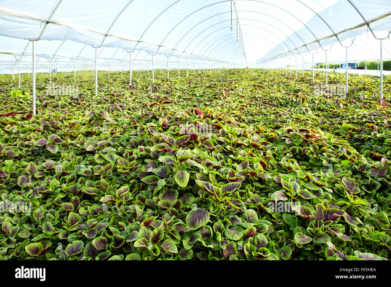 Jan choi, Chinese spinach growing in greenhouse. - Stock Image
