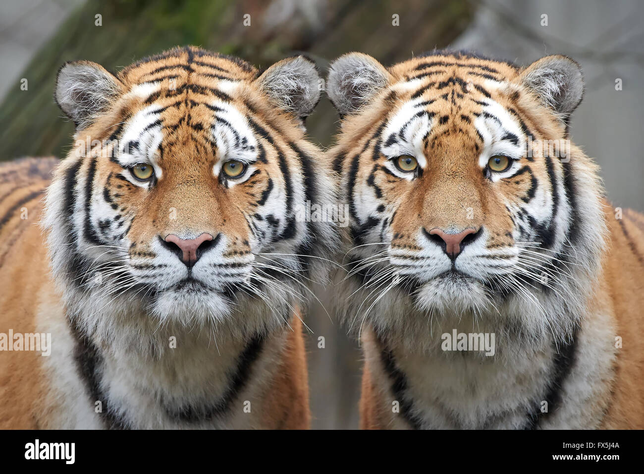 Closeup image of two Amur tigers standing side by side - Stock Image