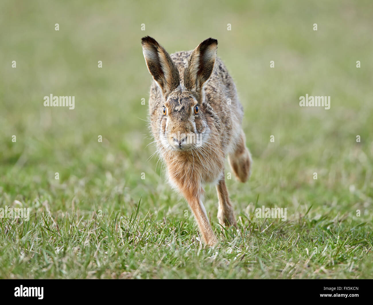 European hare running in its natural habitat - Stock Image