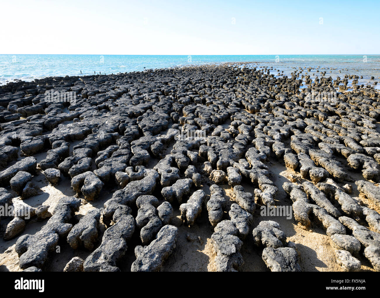 The Stromatolites, oldest known fossils on earth, Hamelin Pool, Shark Bay, Western Australia, WA, Australia, World - Stock Image