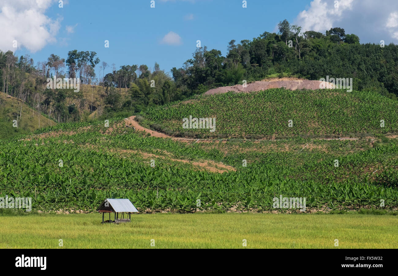 Rubber and rice plantations in Luang Namtha, Laos PDR - Stock Image