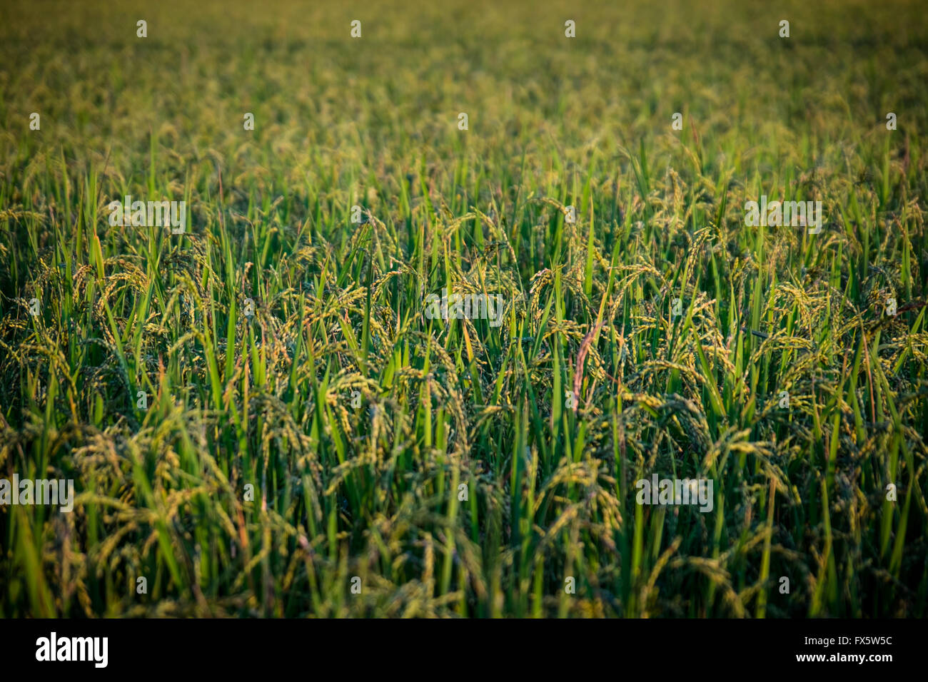 Rice growing in a paddy in Luang Namtha, Northern Laos PDR. - Stock Image