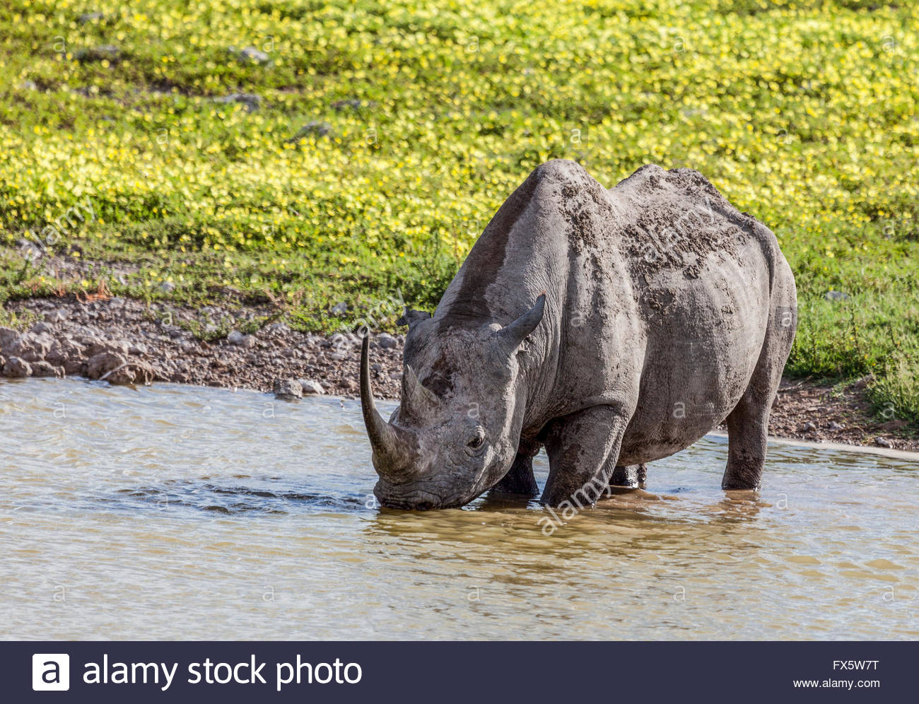 A Black (Hook-lipped) Rhinoceros drinking from a waterhole in Etosha National Park Namibia. Devil's thorn flowers - Stock Image