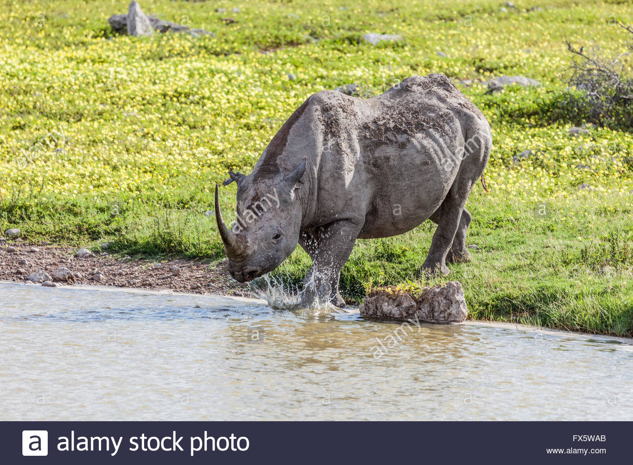 A Black (Hook-lipped) Rhinoceros splashes into a waterhole in Etosha National Park Namibia. Devil's thorn flowers - Stock Image