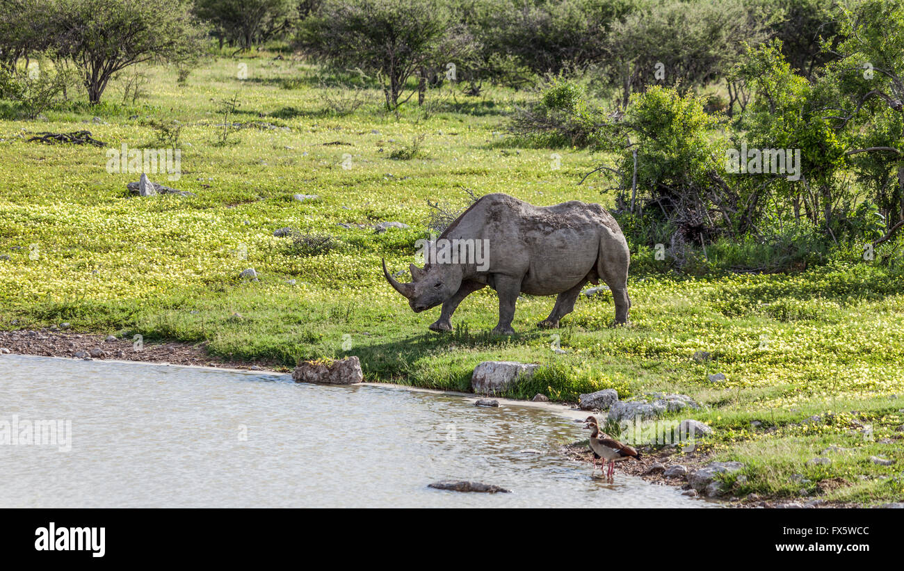 A Black (browse) (Hook-lipped) Rhinoceros walks towards a waterhole in Etosha National Park Namibia. Devil's - Stock Image