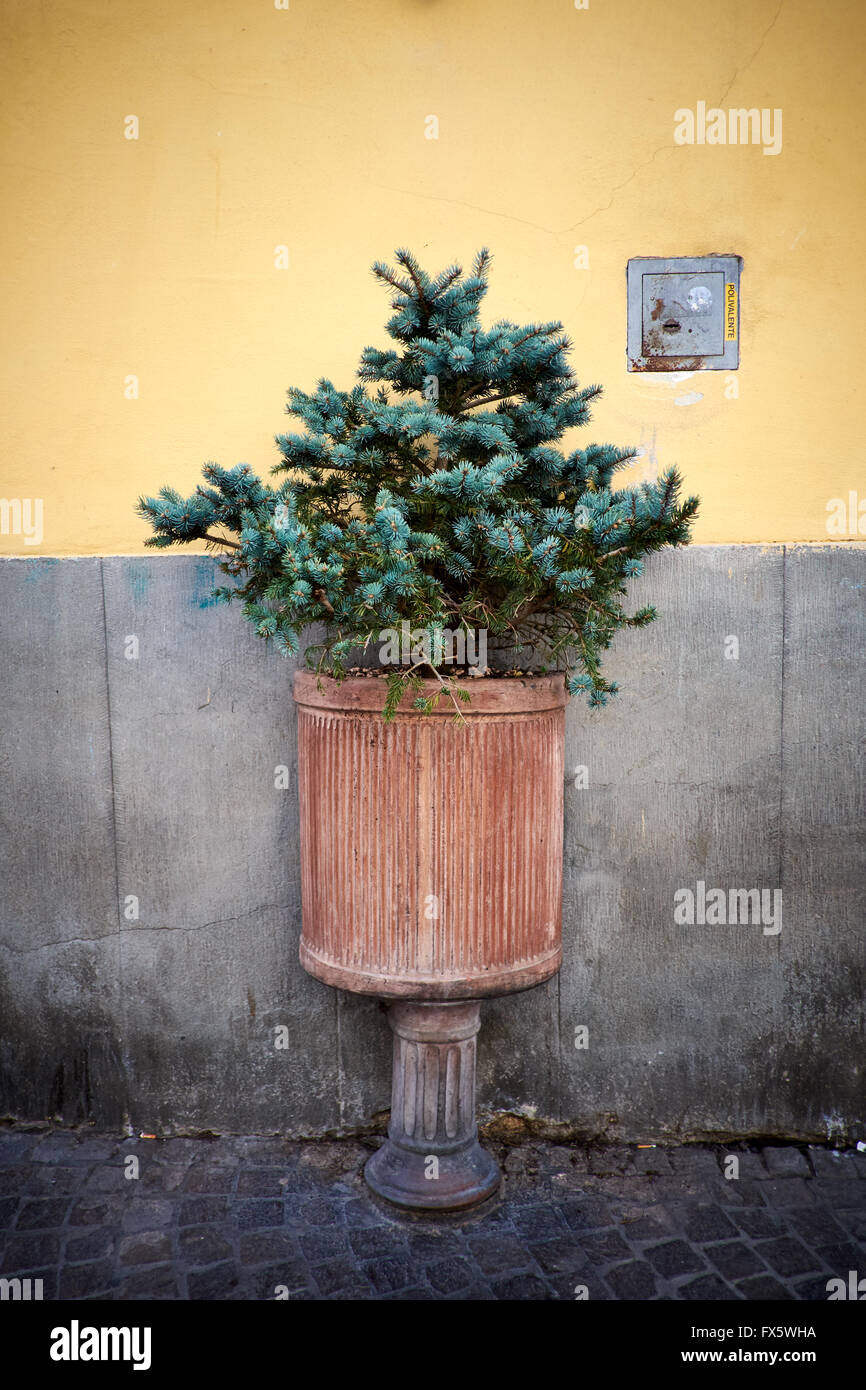 Small conifer growing in a pot in a cobbled street - Stock Image