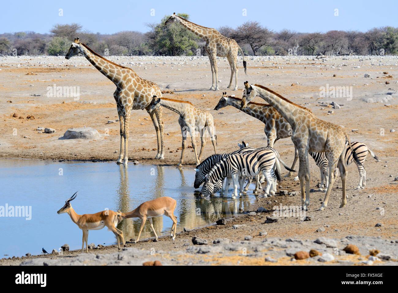 Giraffes, zebras and impala drinking at Chudop Waterhole in Etosha National Park, Namibia - Stock Image