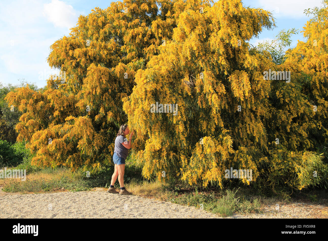 Acacia Mimosa Stock Photos Acacia Mimosa Stock Images Alamy