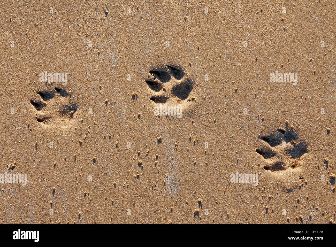 Animal footprints in the sand - Stock Image